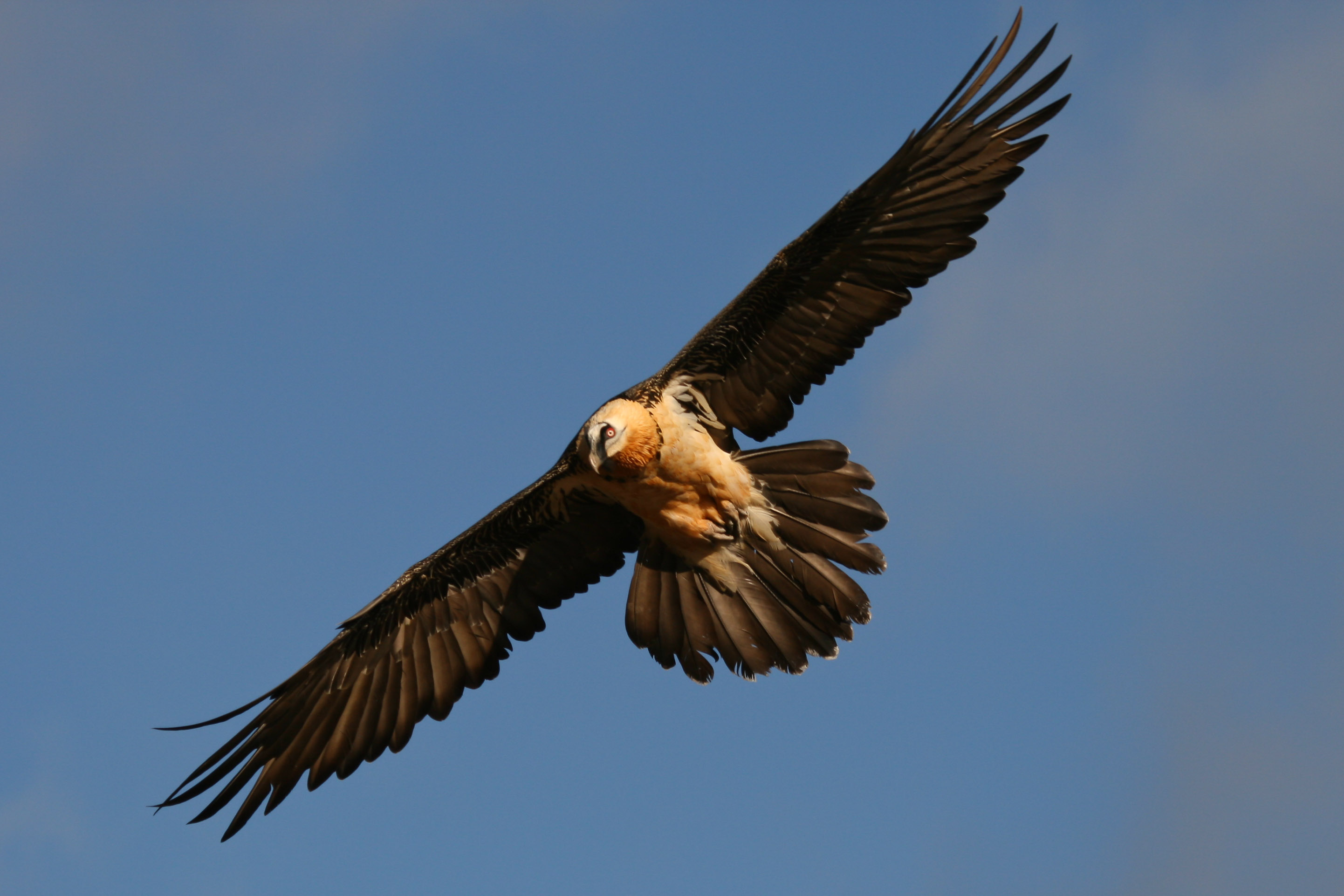 Lammergeiers, Bearded vulture, Quebrantahuesos, wild life andalusia,andalucia,family activity holiday andalusia spain, Responsible travel